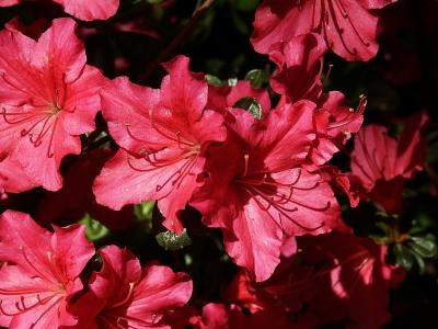 Pinkfarbene Azaleenblüten