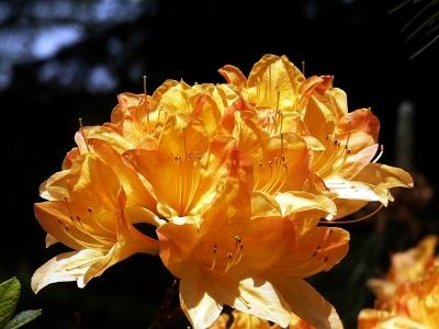 Orangegelbe Azaleenblüten 1