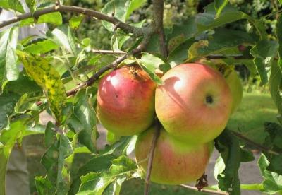 Reife Äpfel.....