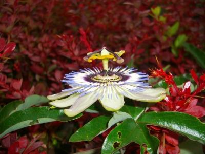 Passionsblume 06