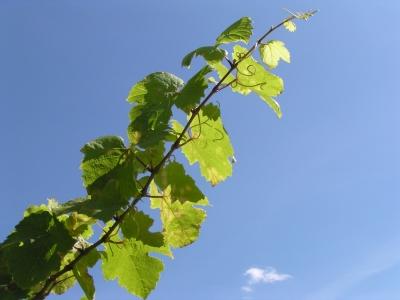 Rebstock ((Blätter)