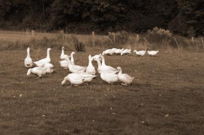 Geschnatter auf der Weide