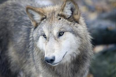 Wolfgesicht_2