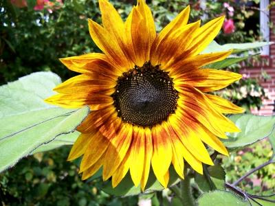 Sonnenblume mit dunkelroten Akzenten