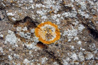 orange Flechte