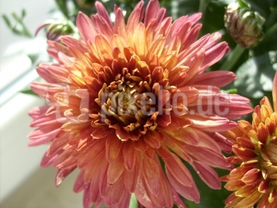 Chrysantheme 28