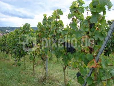 blauer Wein