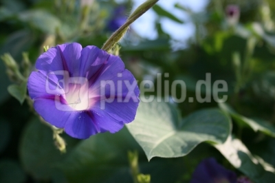 :: Blume