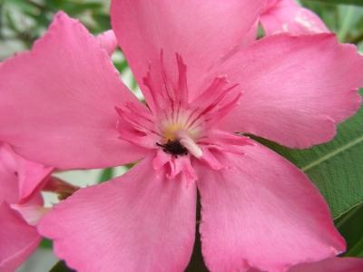 Oleanderblüte ganz nah