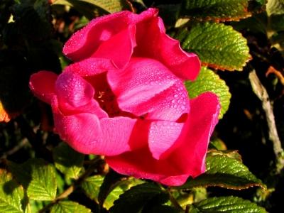 Rose mit Tautropfen