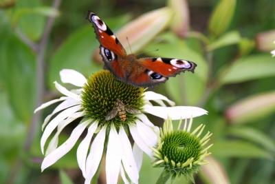 Echinacea bekommt Besuch