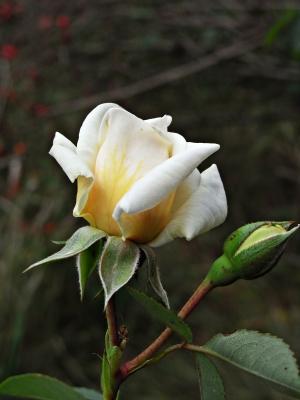 rose in zarter farbe