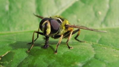Gemeine Dolden-Schwebfliege (Männchen)