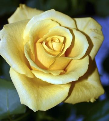Immer wieder Rosen
