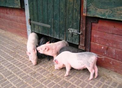 Klatsch und Tratsch in Schweinhausen