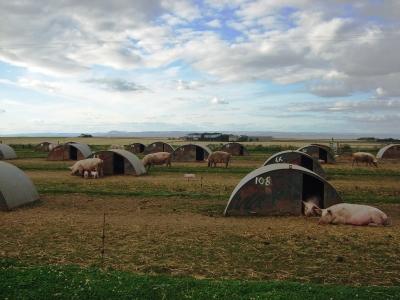 Schweinewiese in Schottland