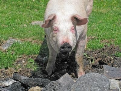 """Schwein der Sorte """"Glücklich & Freilaufend""""!"""