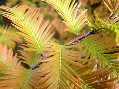 Sumpfzypresse - Herbstfärbung Nadeln