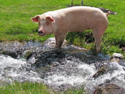 """Ein Schwein der Sorte """"Glücklich & Freilaufend""""!"""