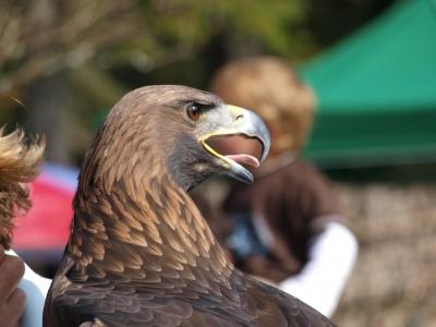 Adler hautnah