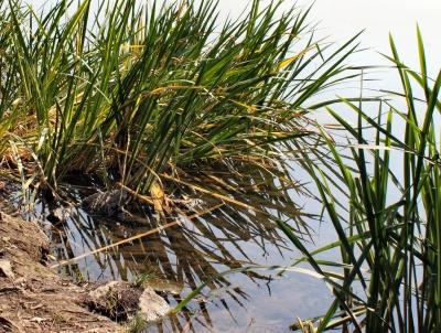 Schilf am Ölper See