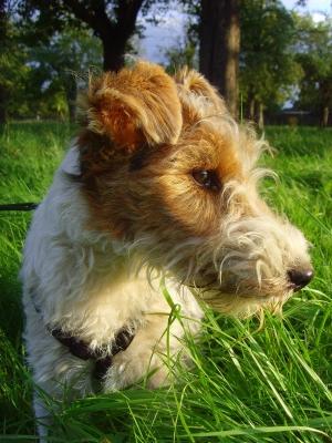 Maxi - 10 Wochen junge Foxl-Hündin