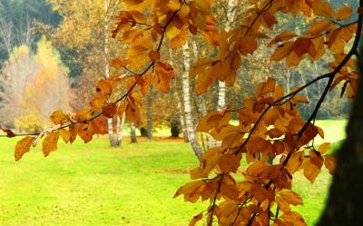 Buchen und Birken im Herbst
