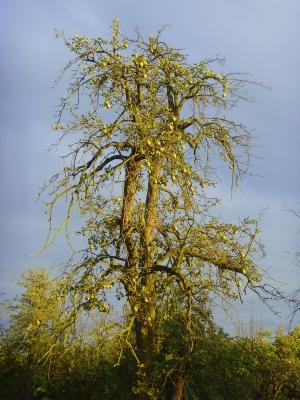 Alter Birnbaum im Herbst auf einer Streuobstwiese bei Gewitterstimmung