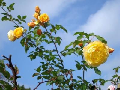 Rosenstrauch Gelb