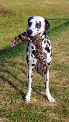 Dalmatiner Paul und sein SupiLieblingsSeil
