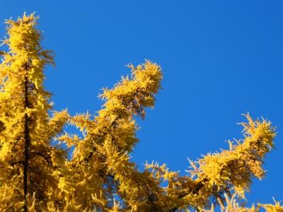Lärchenzweige im Herbst