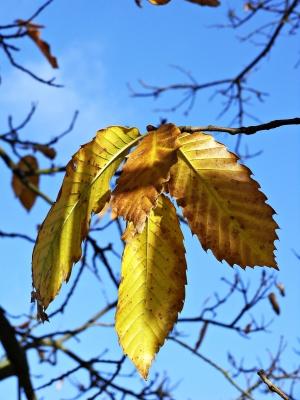 maronenblätter an einem sonnigen novembertag