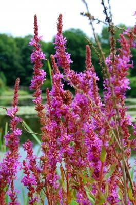 pink am Teich