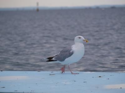 Möwe auf der Ostsee