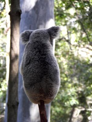 Koala am Stiel