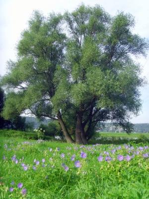 Weide am schönen Elbufer im Sommer