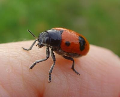 Vierpunkt-Ameisenblattkäfer