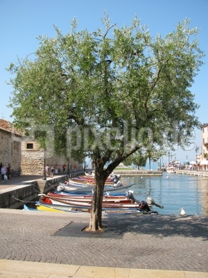 Olivenbaum im Hafen von Lazise - Gardasee