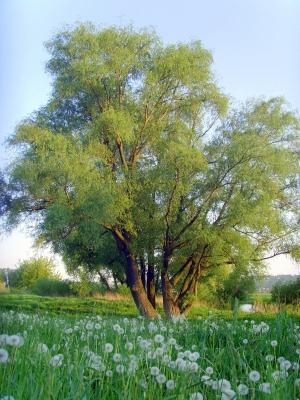 Weide am schönen Elbufer im Spätsommer