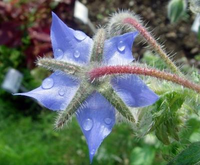 Borretsch [Borago officinalis] nach einem Regenguss III
