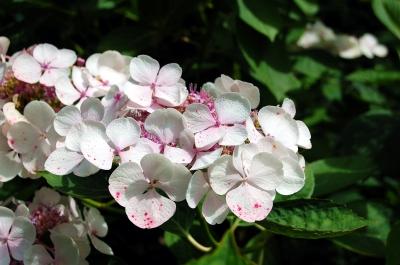 Die Gartenhortensie (Hydrangea macrophylla)