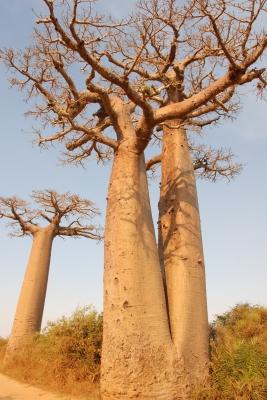 Zwillings-Baobab