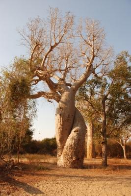 Baobab d`Amour