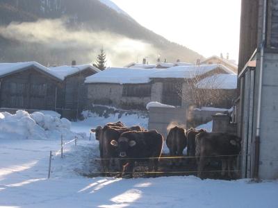 Schweizer Winterkühe