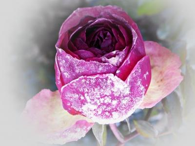 eiskalte rose.....