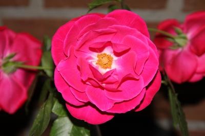 Nahaufnahme einer Rosenblüte