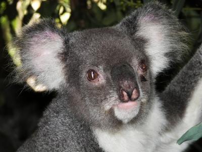 Einsamer Koala