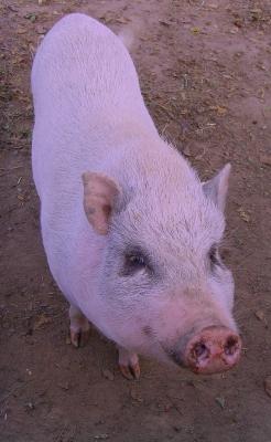 Glücksschwein (bearbeitet)