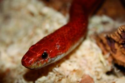 Kornnatter Blood Red