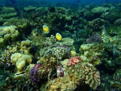 Rotmeer-Rippenfalterfisch
